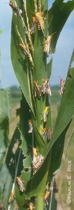 Grasshopper injury of corn