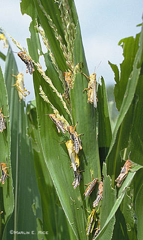 Grasshoppers on pretassel-stage corn
