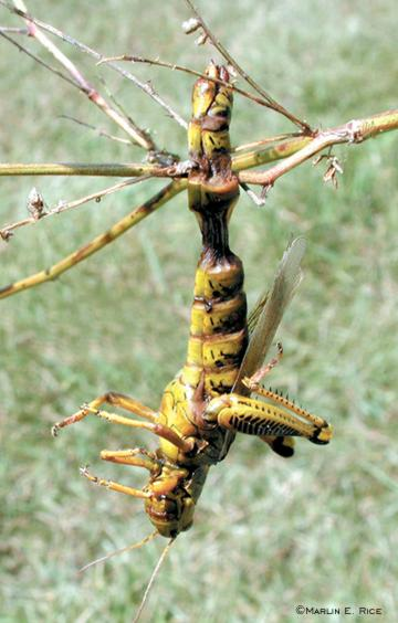 Differential grasshopper killed by pathogen