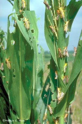 Grasshoppers defoliating corn leaves
