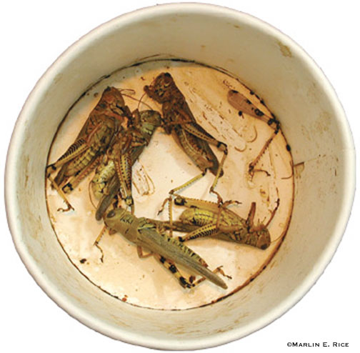 Adult differential grasshoppers killed with an insecticide