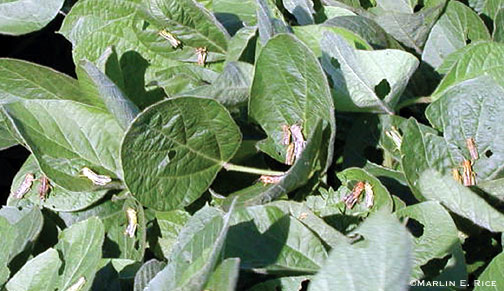 Grasshoppers on soybean plants