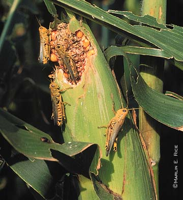 Grasshoppers on Corn Ear