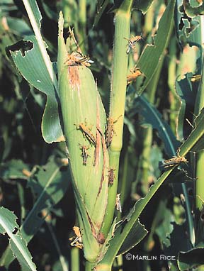 Grasshopper Damage to Corn