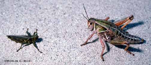 Differential and lubber grasshoppers