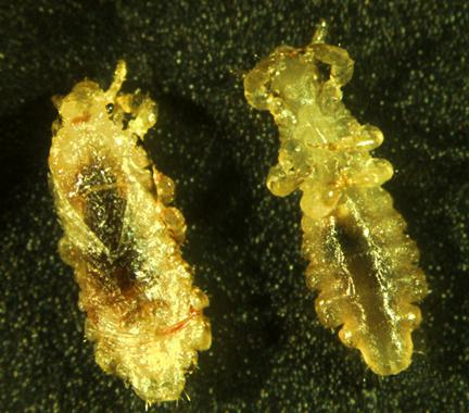 Dorsal and ventral views of Pediculus humanus