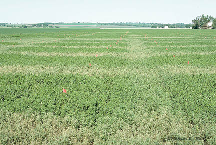 Alfalfa weevil damage
