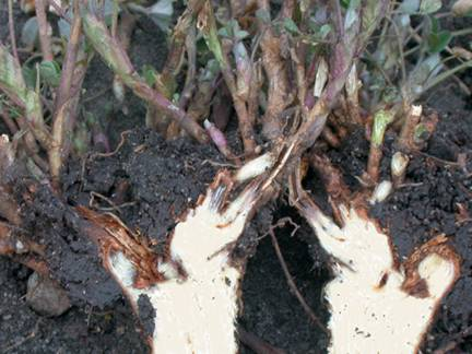 Healthy alfalfa taproot