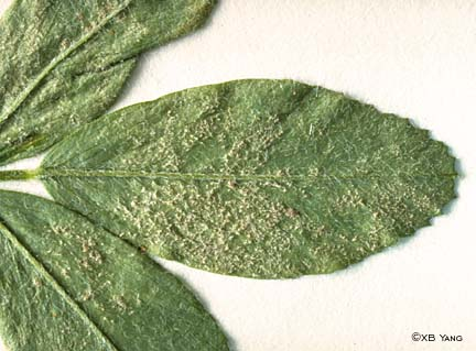 Leaf symptoms of downy mildew