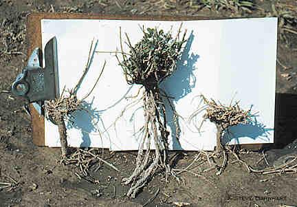 Heaved alfalfa plants