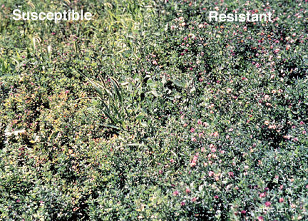 Alfalfa susceptible and resistant to hopperburn