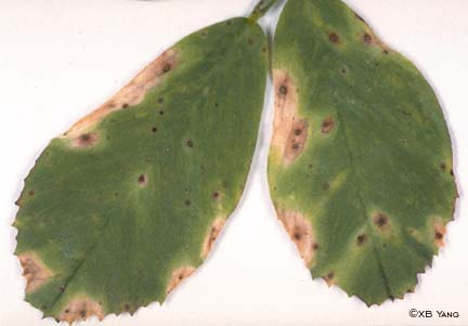 Leaf symptoms of Leptosphaerulina leaf spot