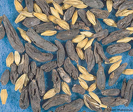 Ergot sclerotia and barley grain