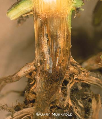 Crown Rot in Corn