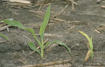 Corn seedling infected by fungi