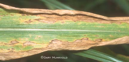 Anthracnose symptoms