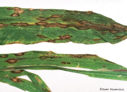 Anthracnose leaf blight on corn