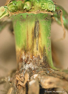 Early symptoms of anthracnose