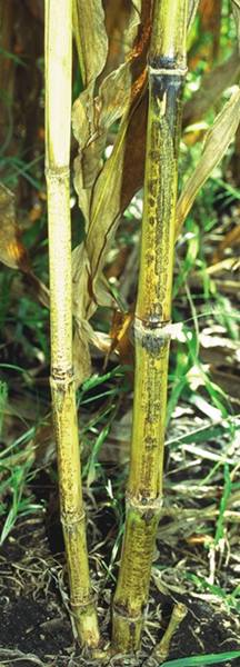Anthracnose symptoms on stalk rind