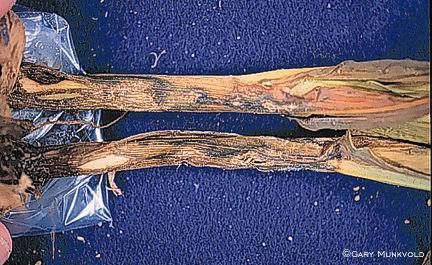 Anthracnose infection of hail-damaged corn