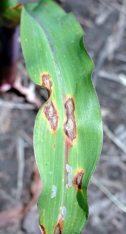Anthracnose lesions