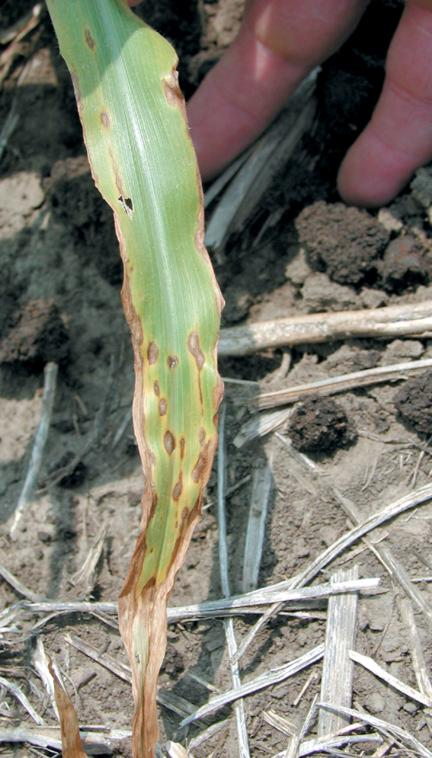 Anthracnose symptoms and k-deficiency