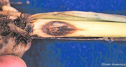 Anthracnose in hail-damaged corn