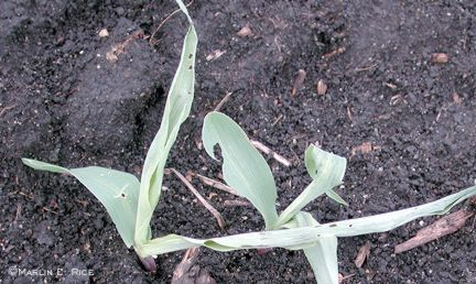 Black cutworm leaf feeding
