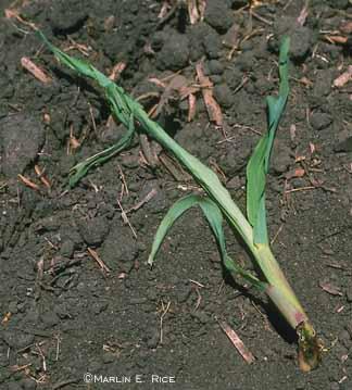 Corn cut by black cutworm