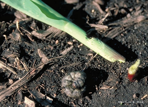 Black cutworm and cut corn plant