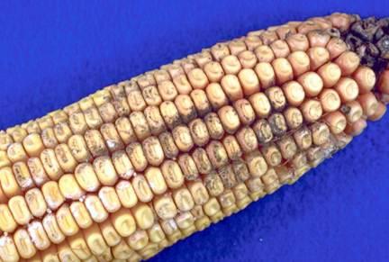 Cladosporium kernel rot of corn