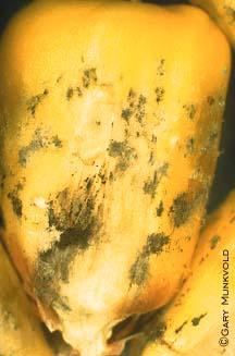 Cladosporium ear rot