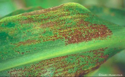 Common rust pustules and spores