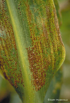 Common rust