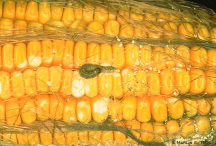 European corn borer on ear