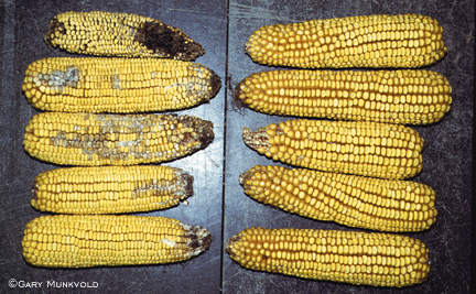 European corn borer damage in Bt corn