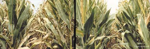 Fungicidal control of gray leaf spot