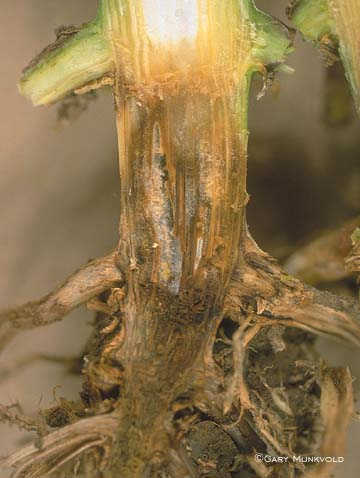 Decay of Corn Stalk Base
