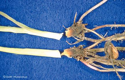 Fusarium crown rot