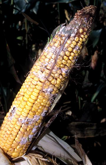 Stress, Anthesis - Silk Interval and Corn Yield Potential