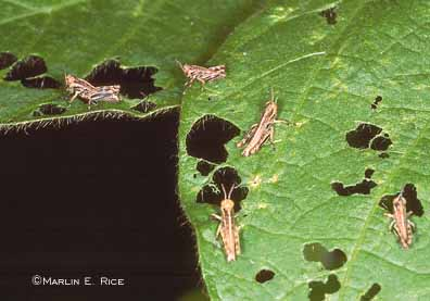 Grasshopper nymphs on soybean