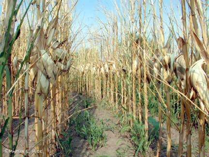Corn killed by grasshoppers