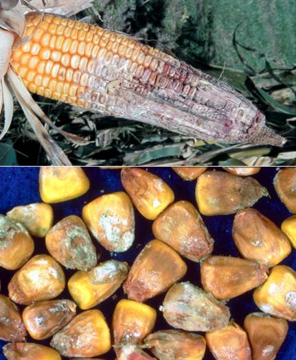 Gibberella ear rot of corn