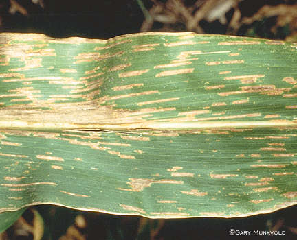 Gray leaf spot symptoms