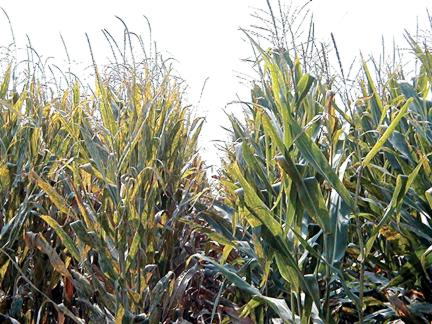 Corn plants susceptible and resistant to gray leaf spot