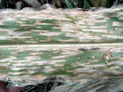 Gray leaf spot and common rust