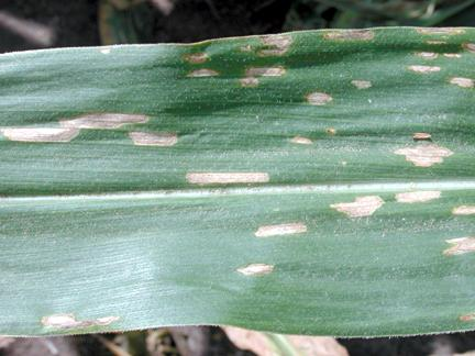 Gray leaf spot on inbred