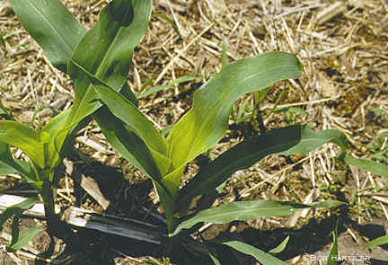 Chlorotic whorl caused by ALS herbicide