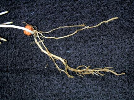ALS inhibitor herbicide injury to corn roots