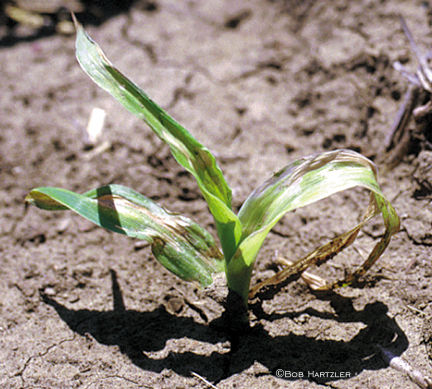 Balance herbicide injury to corn